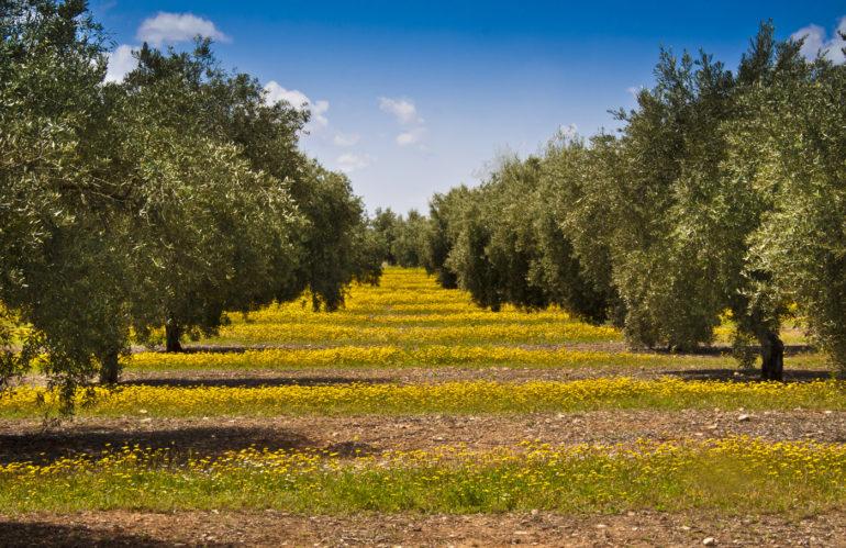 Oleoturismo en Jaén con la agencia de viajes NovaWays. Ven de excursión para aprenderlo todo sobre el aceite de oliva.